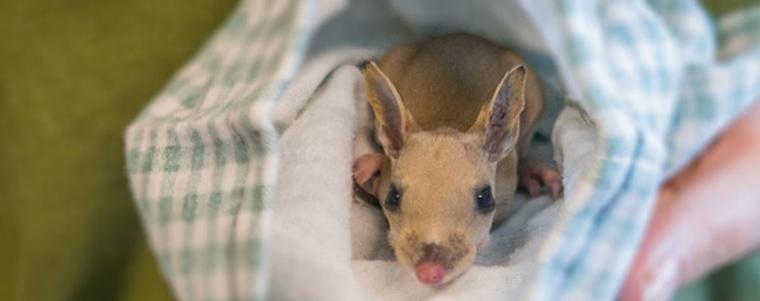 Injured baby Kangaroo