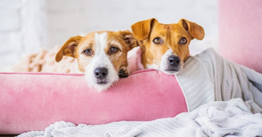 photo of two dogs sitting in a pink dog bed