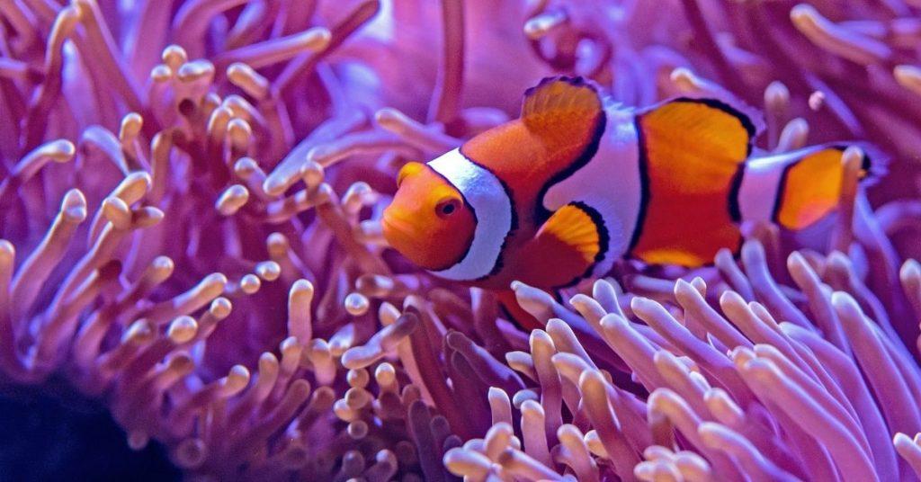 a clown fis swimming amongst anemone